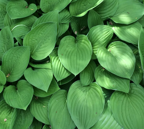 hosta-leaves